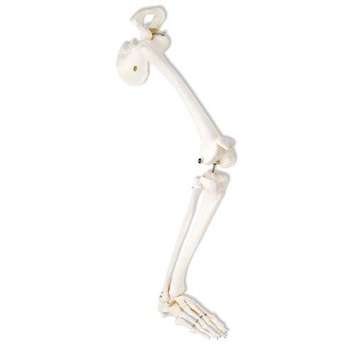 esqueleto-de-una-pierna-con-parte-de-hueso-de-la-cadera-derecho
