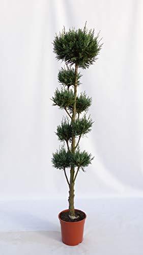garten bonsai Pon Pon 180 cm Formgehölz Scheinzypresse 'Columnaris' Zypresse, 5-8 Pon Pon's, Gartenbonsai