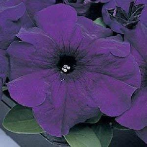 Farmerly 50 Seeds of Petunia Pelleted Supercascade Blue Seeds Trailing Petunia Seeds - Petunia Trailing