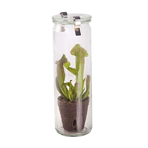 Swampworld Glas - Fleischfressende Pflanze - Trompetenpflanze