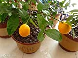 Pinkdose 20pcs / bag Bonsai Zitronenbaum Pflanze hohe Überlebensrate Obstbaum Pflanzenfamilie Garten vergossen Obst