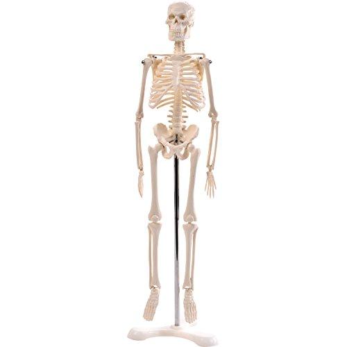 """Anatomie Modell """"Menschliches Skelett"""",klein, ca. 45 cm, geeignet als Lernmodell oder Lehrmittel zur Untersuchung von Funktion, Bau und Bewegung des Körpers"""