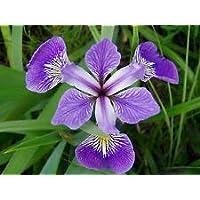 PlenTree Iris versicolor | Bandera Azul | Flor Daga | 20_Seeds