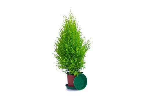 ✔️ Zypressen 1 Stück in 70cm A1 Qualität ✔️ MPS kontrolliert ✔️ Unsere Pflanzen sind bereits für Sie vorgedüngt ✔️