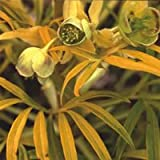 Helleborus 'Gold Bullion' Seeds...
