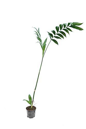 Chamaedorea microspadix - Bambuspalme - verschiedene Größen (100-120cm - Topf Ø 13cm)