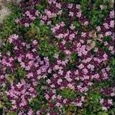 herb-seeds-thyme-purple-creeping-1500-seeds