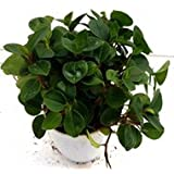 Sanjay Nursery Beautiful Peperomia Rotundifolia Green Color Plant (Pot Included) With Fertilizer & Plate Free