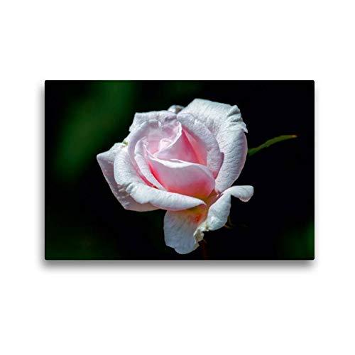 Calvendo Premium Textil-Leinwand 45 cm x 30 cm quer, China-Rose Bloomfield Abunchance | Wandbild, Bild auf Keilrahmen, Fertigbild auf echter Leinwand. Rosen - Eltville am Rhein Natur Natur