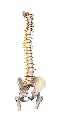 3B Scientific - Anatomie humaine - Colonne vertébrale flexible