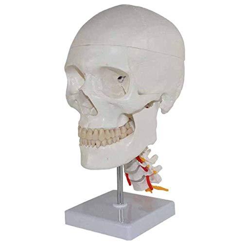 uman Anatomy - Menschlicher Schädel Skeleton Resin Replica Modell Medical Anatomical Tracing Teaching Medizinisches Skelett Halloween Dekoration Statue ()