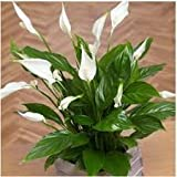 #2: Peace Lily Plant (Spathiphyllum) Green color indoor plant @299/pc by Puspita Nursery
