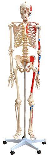 Lebensgroß mit Bemalung Muskenl Knochen Anatomie inkl. Ständer MedMod ()