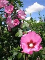 hibiscus syriacus pink giant rose mallow grafted plant. Black Bedroom Furniture Sets. Home Design Ideas