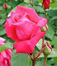apuldram-roses-wendy-cussons-hybrid-tea-bush-rose-potted
