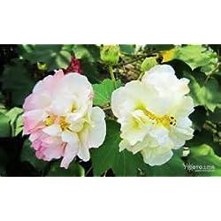 100% ursprüngliches 100pcs 6kinds Multicolor Hibiscus Samen Hibiscus rosa-sinensis Samen Bonsai Pflanze Blumensamen