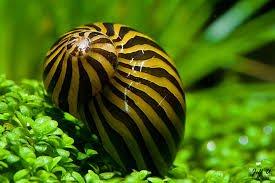 ZEBRA SNAIL 2cm TROPICAL AQUARIUM LIVE FISH ALGAE EATER TANK CLEANER (1 Snail) 1