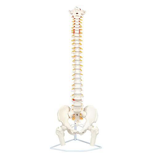 Tehok Menschliche Anatomie Flexibles Wirbelsäulenmodell Lebensgröße Einschließlich Der Wirbelsäule, Der Nervenwurzeln, Der Wirbelarterien, Der Bandscheiben Usw.