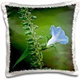Lee Hiller Photography Hot Springs National Park WildHeavely Blue Ivy Leaf Morning Glory Wildflower on North Mountain - 16x16 inch Pillow Case