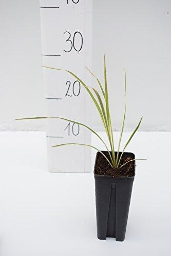 Keulenlilie Sonderform - Cordyline australis Dazzler - Jungpflanze - Topf 0,7Ltr.
