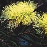 Plant World Seeds - Callistemon Salignus Seeds