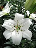 #4: Highly fragrant Asiatic lily Eyeliner (white) Pack of four bulbs