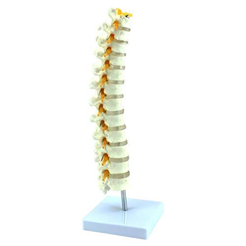 LUCKFY 1: 1 lebensgroße menschliche Brustwirbel Modell Wirbelsäule Lendenwirbel Orthopädie Skelettmodell Schule Unterrichtsmaterial - Wirbelkörper Der Wirbelsäule