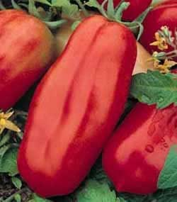 Premier Seeds Direct ORG113 Tomato San Marzano 2 Organic Seeds (Pack of 60)