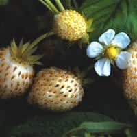 Plant World Seeds - Strawberry 'White Delight' Seeds