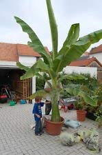 PlenTree 10 Fresh Ensete Glaucum Snow Banana Seeds