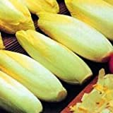 Seekay Zichorie 'Brüssel Chicorée' Ca. 1,000 Samen - 1000 seeds