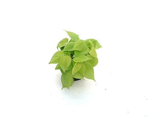 Baumfreund Lemon 80-100 cm kleine Zimmerpflanze in Hydrokultur für Halbschatten Philodendron scandens im 13/12 cm Topf 1 Pflanze