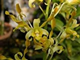 #6: Orchid live plant yellow twist(with Growing guide)