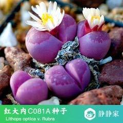 Go Garden 100% frais 50pcs réel lithops cactus succulent Semillas ~ Pierres vivantes (S49-72): Gris clair
