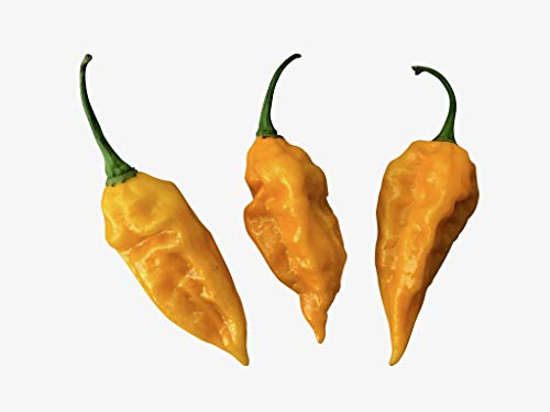 Fatalii Gelb 10 Samen -Der Heisse Chili mit super Ertrag-