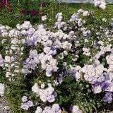 Bodendeckerrose 'Pearl Mirato' ® - Rosa 'Pearl Mirato' ®