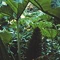 Just Seed Mammutblatt, Gunnera Manicata, spektakulär, 50 Samen von Just Seed bei Du und dein Garten