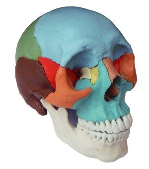 S24.2165 Modelo osteopático del cráneo humano de 22 piezas, versión didáctica (cráneo modelo)