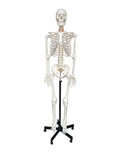 S24.1113 Modelo anatómico de esqueleto, tamaño real