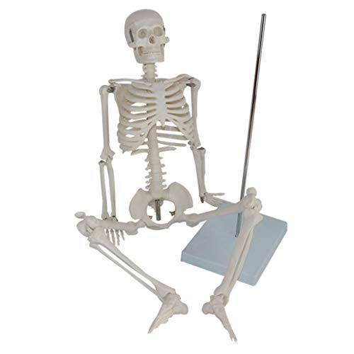Skelett Anatomisches Modell 85 cm Ständer Lernressourcen Lehre Gemeinsames Labor Klassenzimmer Ausstattung Ornament Wissenschaft Spielzeug ()
