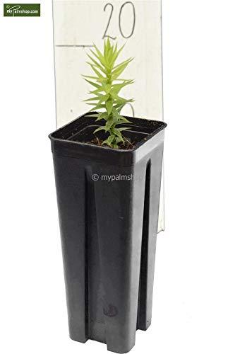 Antentanne – Araucaria araucana – Jungpflanze im Topf 0,7Ltr.