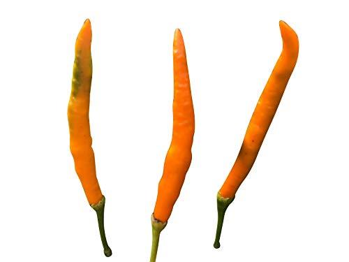 Orange Thai-Chili (Zipfelmützenchili) 10 Samen (Frucht sieht aus wie eine Zwergenmütze)