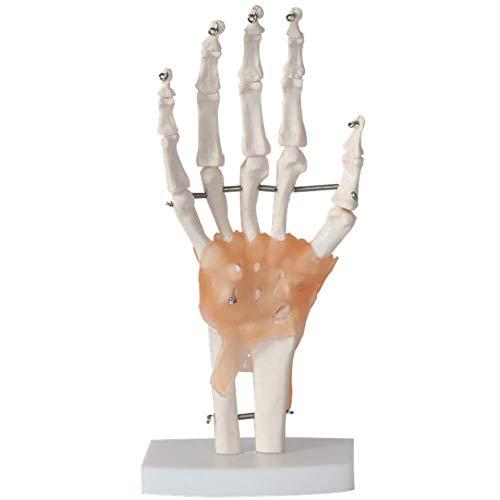 and Skelett Model Mit Ligament Lebensgroßes Umweltfreundliches PVC-Material Mit Einer Basis ()