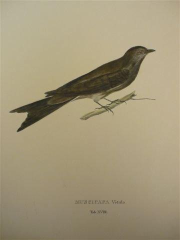 Muscicapa vetula. Tab. XVIII. Kolor. Lithographie, um 1840. 16 x 23 cm (Blattgröße: 39 x 30 cm).