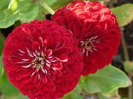 Tall Zinnia Red By Divya Seeds