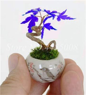 AGROBITS 30 pc nuovi Acero bonsai blu Acero giapponese balcone Piante colori misti di scegliere per Famliy Garden & amp; Balcone di impianto: 1