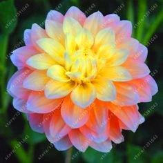 20 graines dahlia graines rares fleurs mélange rare fleur de bonsaïs chinois pour la décoration de jardin maison 8