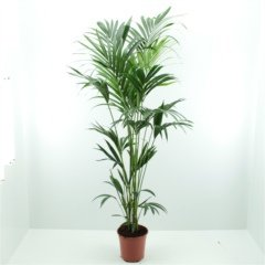 Exotic Kentia indoor palm – Enchanting in homes and offices - Perfect gift, present, for Christmas, Xmas, Birthdays - for him, her, mum, dad, parents, brother, sister, wife, husband,