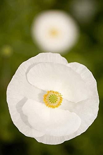 1800 Samt den Mohn reinen weißen/Superb Blume/Poppy ()