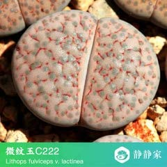 Go Garden 100% frais 50pcs réel lithops cactus succulent Semillas ~ Pierres vivantes (S1-24): Blanc